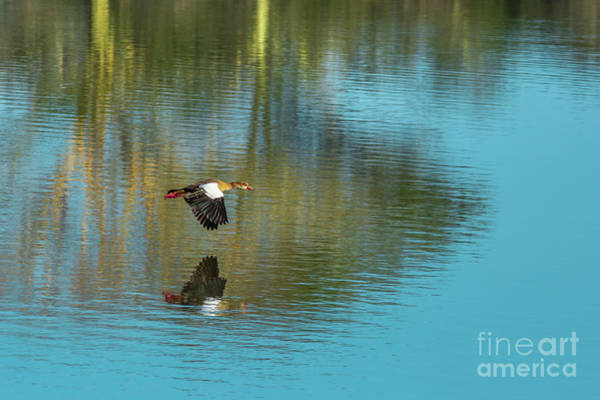 Photograph - Egyptian Goose On A Lake by Benny Marty