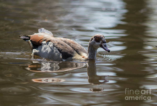 Photograph - Egyptian Goose Swimming by Eva Lechner