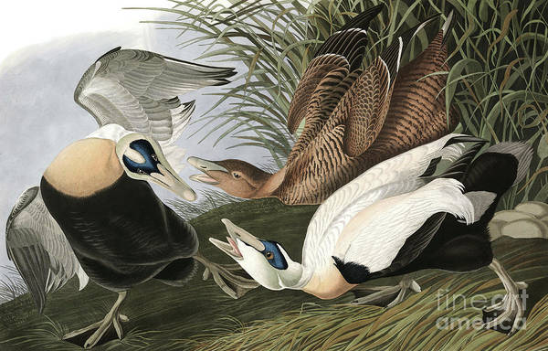 Wall Art - Painting - Eider Duck, Fuligula Mollissima By Audubon by John James Audubon