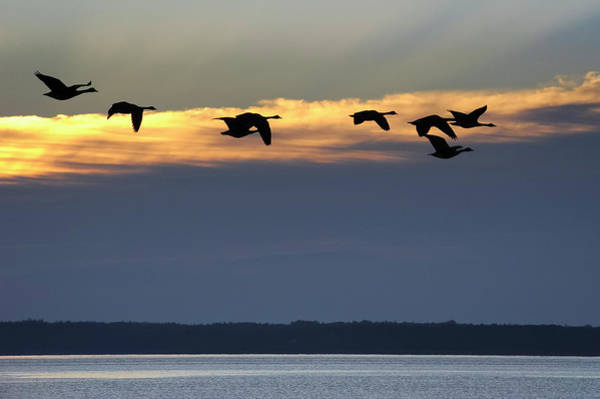 Photograph - Eight Geese A Flyin' by Mary Lee Dereske