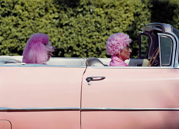 Horizontal Photograph - Elderly Woman And Pink Poodle In Pink by Tim Macpherson