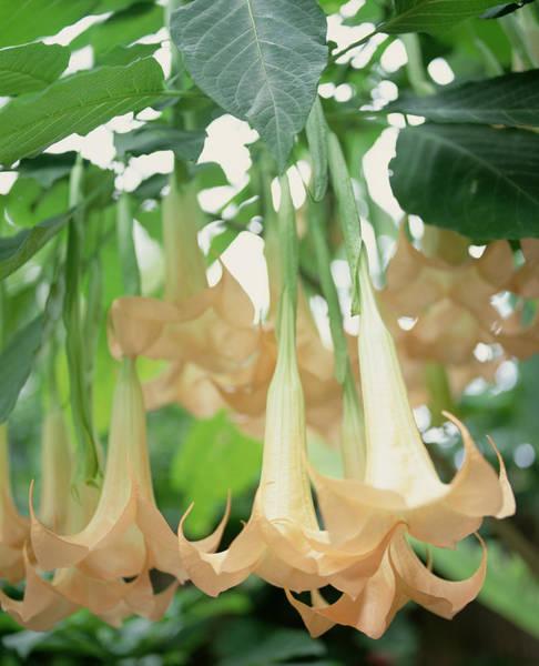 Coral Photograph - Elegant Angels Trumpet Flowers by Melanie Acevedo