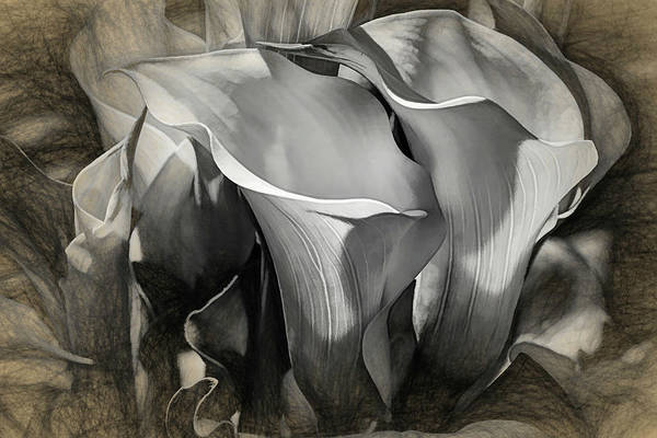 Photograph - Elegant Calla Lilies - Sketch by Donna Kennedy