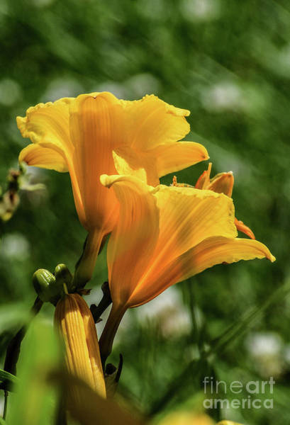 Wall Art - Photograph - Elegant Daylilies by Cindy Treger