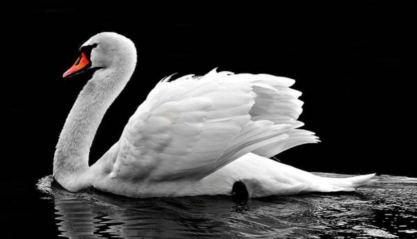 Photograph - Elegant Swan by Top Wallpapers