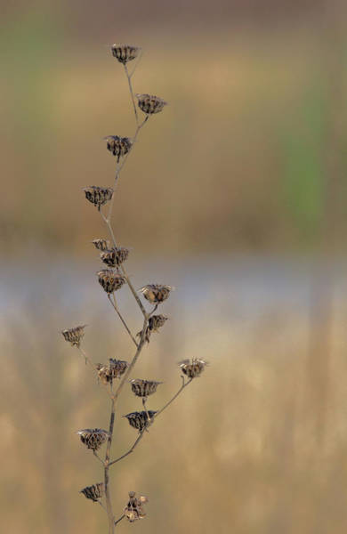 Wall Art - Photograph - Elegant Weed by Dean Sisson