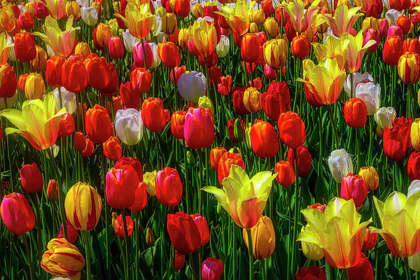Wall Art - Photograph - Elegant Wild Tulips by Garry Gay