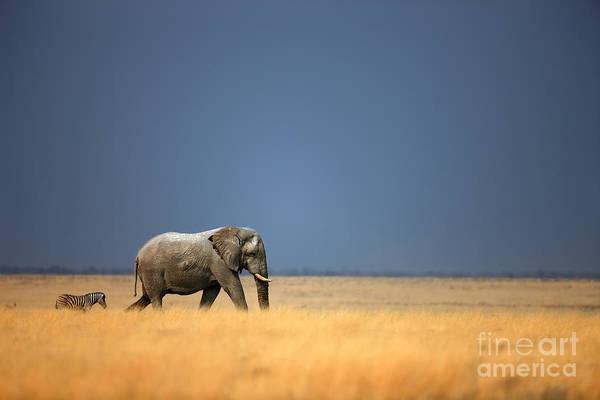 Wall Art - Photograph - Elephant Bull And Zebra Walking In Open by Johan Swanepoel