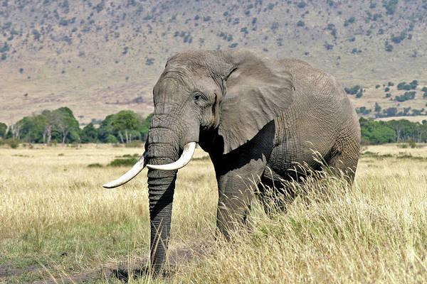 Wall Art - Photograph - Elephant Bull by Munib Chaudry