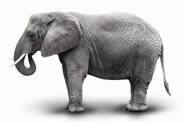White Background Photograph - Elephant by Burazin