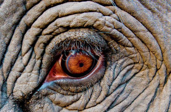 Animal Place Wall Art - Photograph - Elephant Eye, Bandhavgarh National by Mint Images/ Art Wolfe