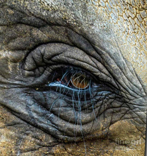 Photograph - Elephant Eye by Randy J Heath