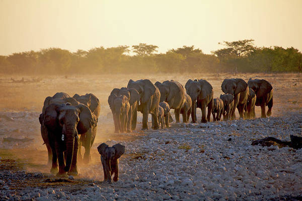 Dust Photograph - Elephant Herd Approaching by David Cayless