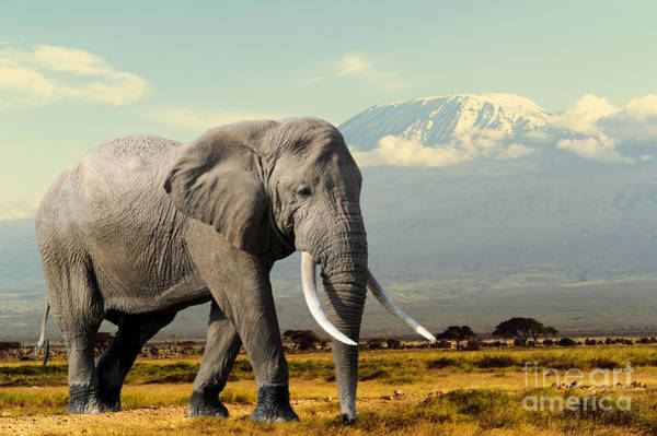 Amboseli Wall Art - Photograph - Elephant On Kilimajaro Mount Background by Volodymyr Burdiak