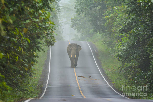 Wall Art - Photograph - Elephant On The Road In Khao Yai by Beejung