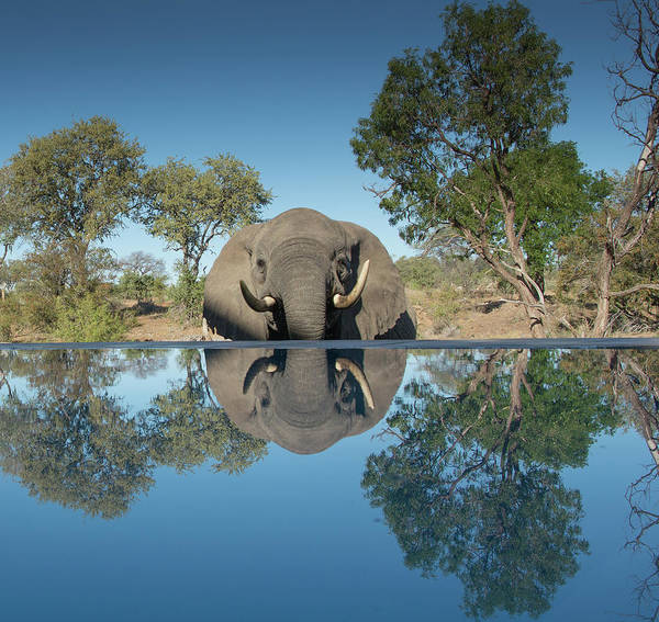 Photograph - African Elephant Reflection by Mark Hunter