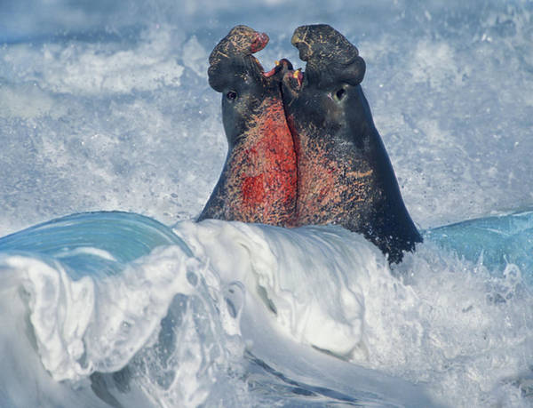 Photograph - Elephant Seal Bulls Fighting In Surf by