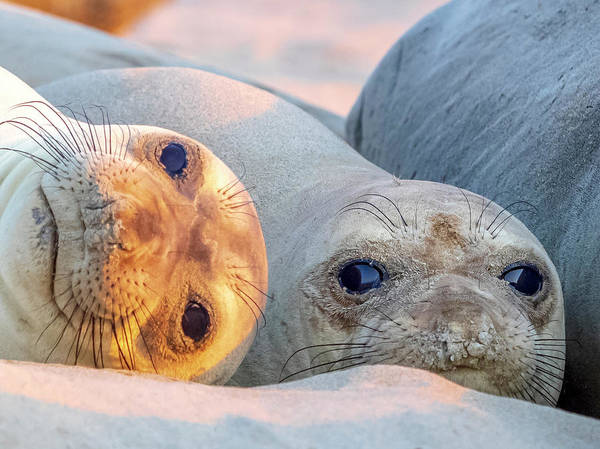 Wall Art - Photograph - Elephant Seal Pups by Steve Spiliotopoulos