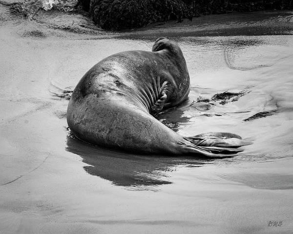 Photograph - Elephant Seal X Bw by David Gordon