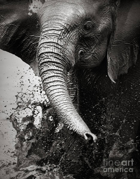 Stand Wall Art - Photograph - Elephant Splashing Water With Trunk - by Johan Swanepoel