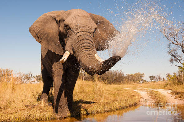 Strong Wall Art - Photograph - Elephant Spraying Water With His Trunk by Donovan Van Staden