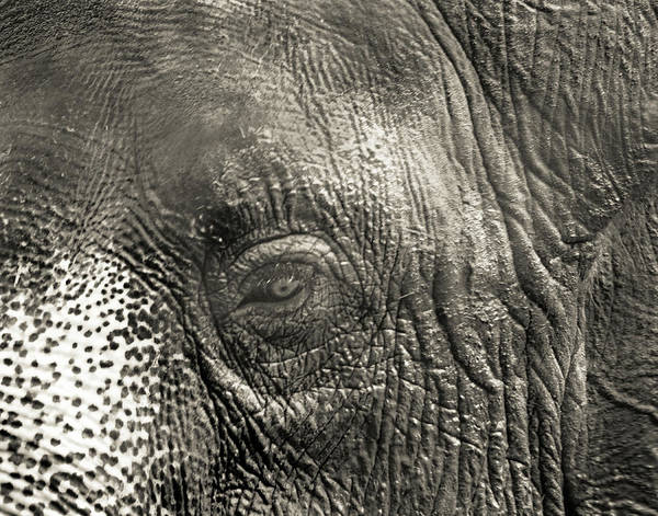 Photograph - Elephant Up Close by Maggy Marsh