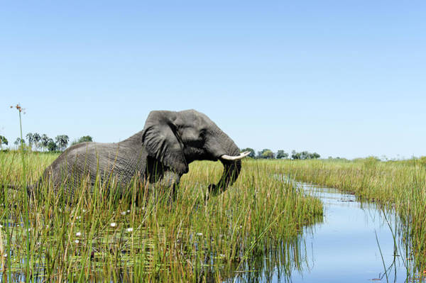 Wading Photograph - Elephant Wading In The Wetlands, Xigera by Brytta