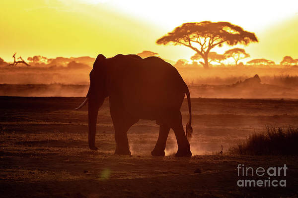 Wall Art - Photograph - Elephant Walking Through Amboseli At Sunset by Jane Rix