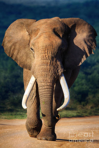 Wall Art - Photograph - Elephant With Large Teeth Approaching - by Johan Swanepoel