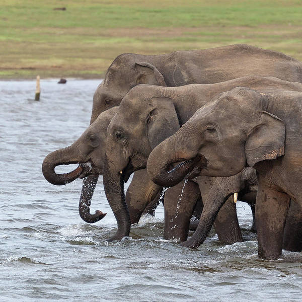 Wall Art - Photograph - Elephants Drinking by Daniel Newcombe