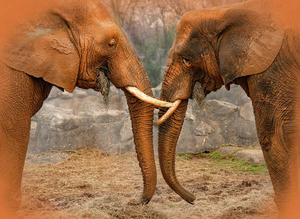 Photograph - Elephants  by Gouzel -