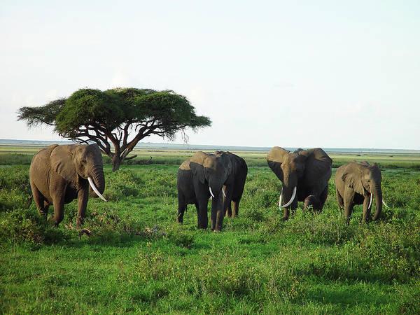 Wall Art - Photograph - Elephants In Kenya by Mseidelch