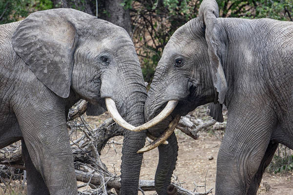Photograph - African Elephants Sparring by Mark Hunter