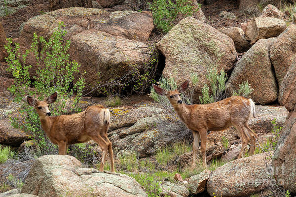 Photograph - Eleven Mile Canyon Deer by Steve Krull