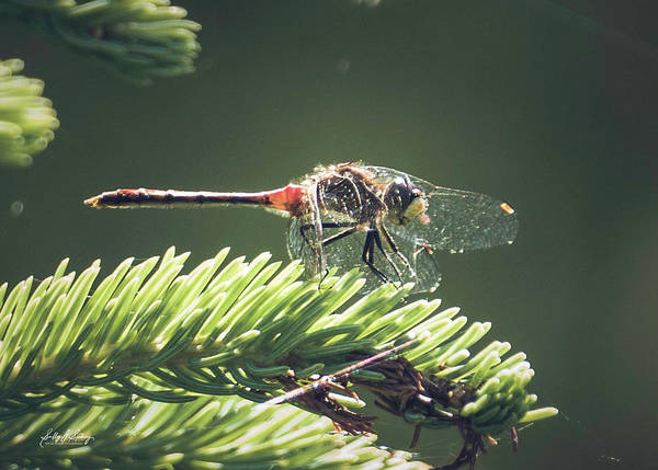 Photograph - Elfin Whiteface Skimmer by Sally Sperry