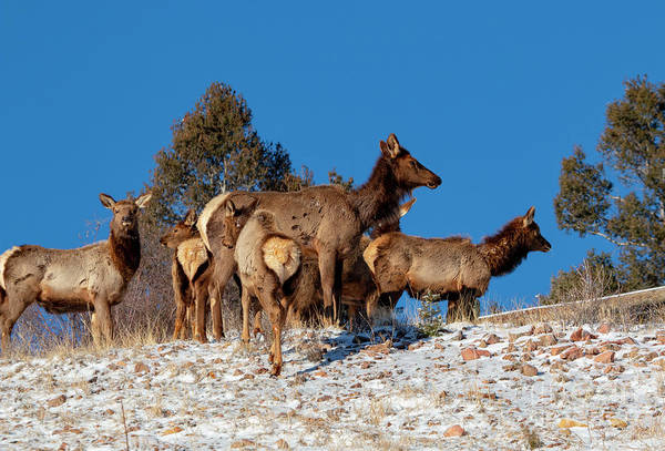 Photograph - Elk Against Blue Sky by Steve Krull