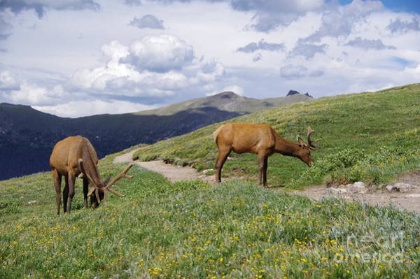 Wall Art - Photograph - Elk Along The Pathway by Jeff Swan