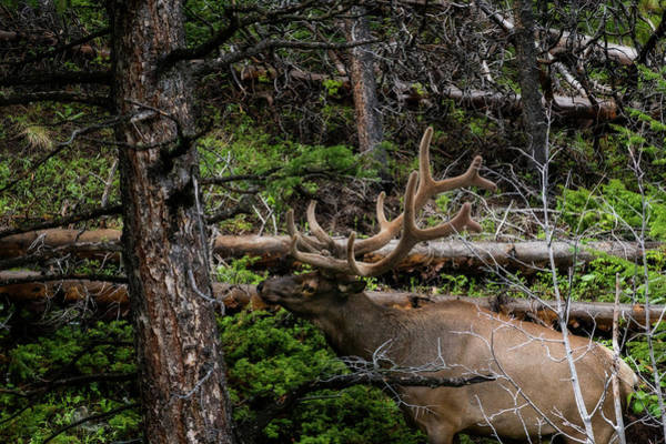 Photograph - Elk Among The Tree Branches by Dan Friend