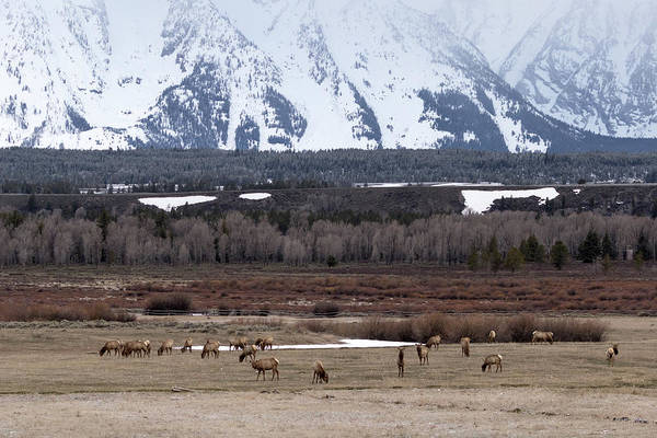 Photograph - Elk At Tetons by Ronnie and Frances Howard