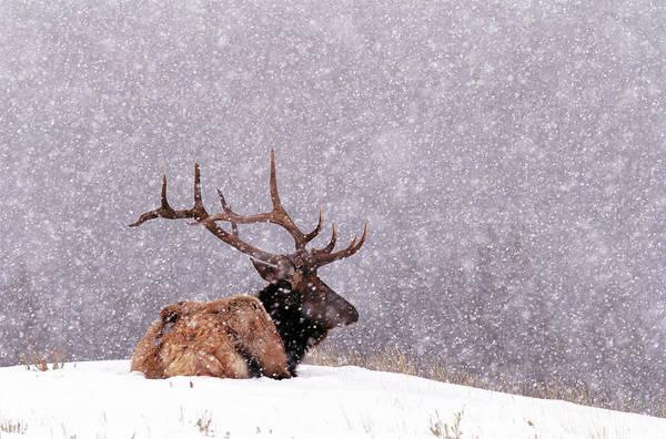 Photograph - Elk Bull Cervus Elaphus Resting On by Art Wolfe