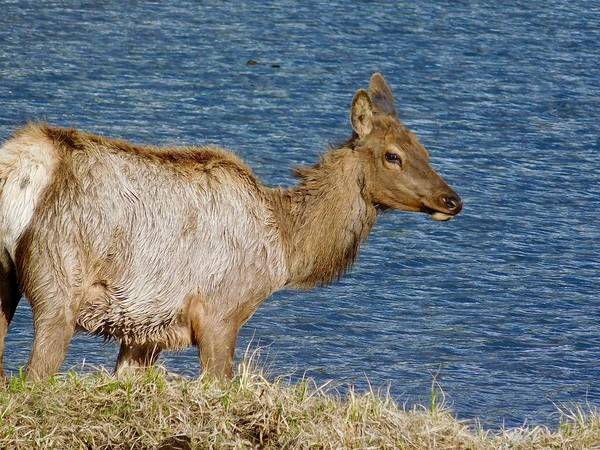 Photograph - Elk By The Lake by Dan Miller