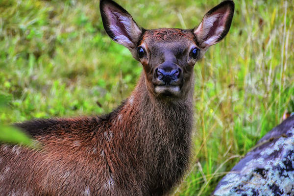 Wall Art - Photograph - Elk Calf In North Carolina Elk Series #3 by Rebecca Carr