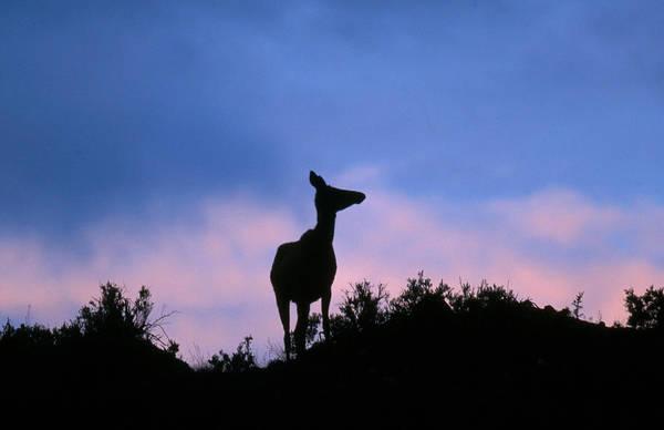 Wall Art - Photograph - Elk Cervus Elaphus At Sunrise by David Hosking