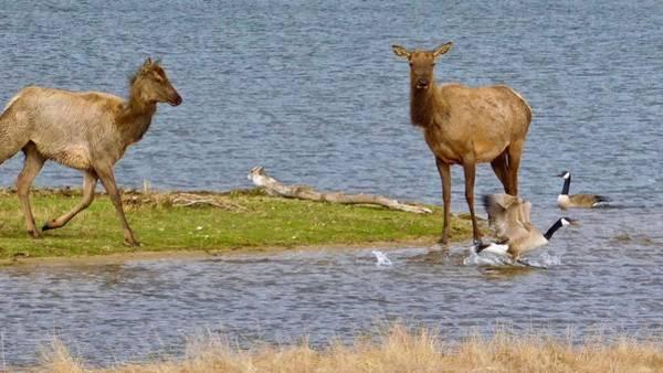 Photograph - Elk Chasing Geese by Dan Miller