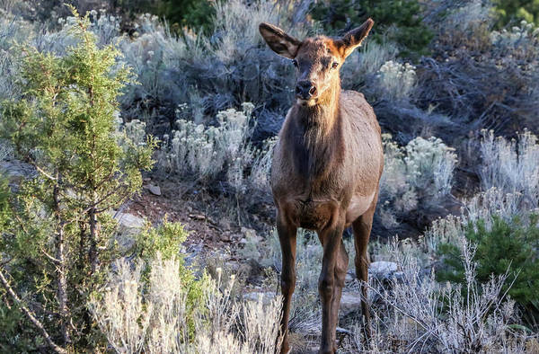Photograph - Elk Cow 1, Grand Canyon by Dawn Richards