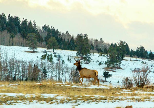 Photograph - Elk Cow On A Winter Morning by Steve Krull