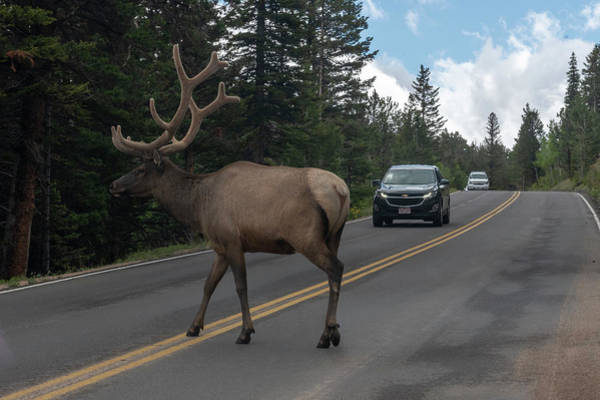 Photograph - Elk Crossing The Road by Dan Friend