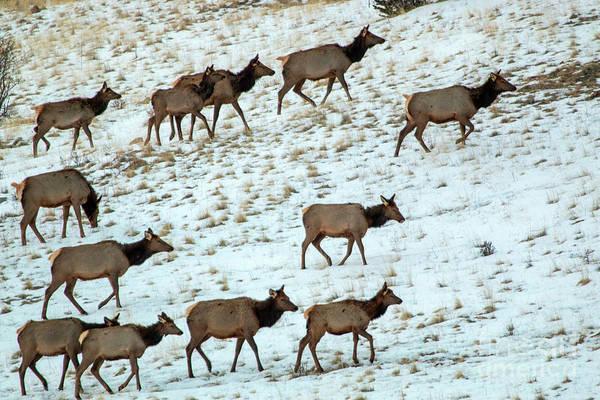 Photograph - Elk Herd On A Winter Morning by Steve Krull