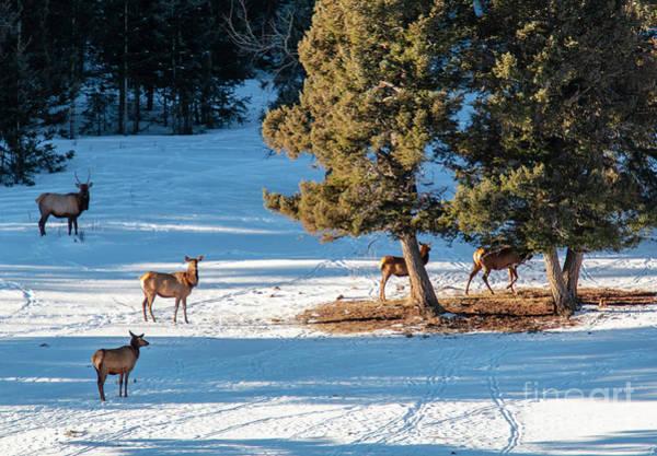 Photograph - Elk Herd Resting In Snow by Steve Krull