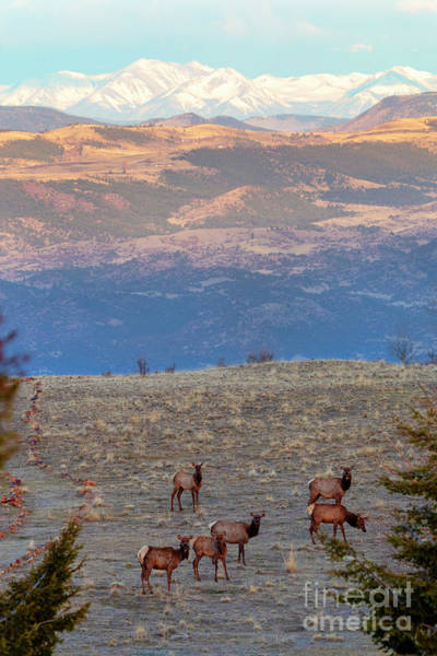 Photograph - Elk Herd by Steve Krull